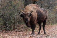 Manlig europeisk bisonställning i höstskogen Arkivfoto