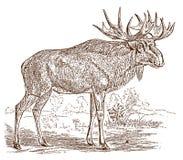 Manlig europeisk eller scandinavian älgalcestjur i sidosikten som står i ett landskap vektor illustrationer