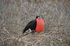 Manlig fregattfågel från Galapagos Royaltyfri Foto