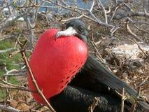 Manlig Friget fågel royaltyfria foton