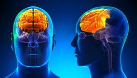 Manlig Frontal lob Brain Anatomy - blått begrepp stock illustrationer