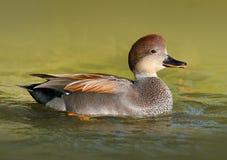 Manlig Gadwall Duck Swimming i vattnet Royaltyfri Fotografi