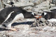 Manlig Gentoo pingvin som lägger ner stenen i redet var Arkivfoto