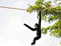 Manlig Gibbon apa som hänger på rep Royaltyfria Bilder