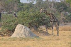 Manlig giraff som äter sidor från en akaciabuske nära en termitkulle, Tanzania, Afrika arkivfoto
