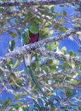 Manlig glänsande Quetzal Royaltyfri Fotografi