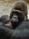 Manlig gorilla Royaltyfri Fotografi