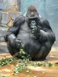 Manlig gorilla för västra lågland med smakliga filialer arkivfoto