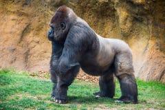 Manlig gorilla med silver tillbaka Arkivfoton