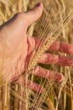 Manlig hand i kornfält arkivfoto