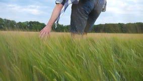 Manlig hand som flyttar sig över vete som växer på fältet Ängen av grön korn- och man` s beväpnar att trycka på kärnar ur i somma Fotografering för Bildbyråer