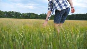 Manlig hand som flyttar sig över vete som växer på fältet Ängen av grön korn- och man` s beväpnar att trycka på kärnar ur i somma Royaltyfri Foto