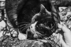 Manlig handsmekning en svartvit katt som sitter på ett träd med stängda ögon royaltyfria bilder