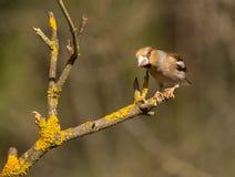 Manlig Hawfinch Arkivbild