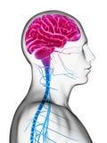 Manlig hjärna Arkivfoton