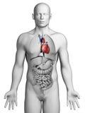 Manlig hjärta vektor illustrationer