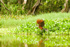 Manlig Hoatzin fågel Arkivfoto