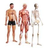 Manlig illustration av hud, muskeln och skelett- system vektor illustrationer