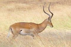 Manlig impala i gräset Arkivfoton