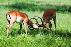 Manlig impalaantilop Arkivbilder
