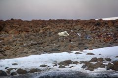 Manlig isbjörn som ligger på buken som man Royaltyfri Bild