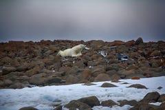 Manlig isbjörn som ligger på buken som man Arkivbild