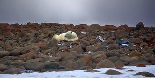 Manlig isbjörn som ligger på buken som man Arkivfoto