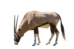 Manlig isolerad vit bakgrund för gemsbok antilope Arkivbilder