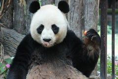 Manlig jätte- panda i Chiangmai, Thailand royaltyfri foto