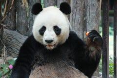 Manlig jätte- panda i Chiangmai, Thailand royaltyfri fotografi