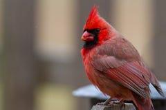 Manlig kardinal Cardinalidae Royaltyfri Fotografi