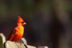Manlig kardinal Cardinalidae Arkivfoto