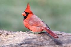 Manlig kardinal On en journal Arkivfoto