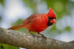 Manlig kardinal Observing Royaltyfri Bild