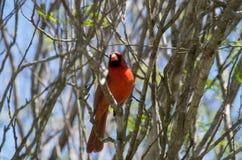 Manlig kardinal på San Antonio Botanical Garden Royaltyfri Fotografi