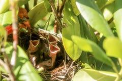 Manlig kardinalmatning behandla som ett barn fågelungar i fågelredet Arkivfoton