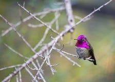 Manlig kolibri Calypte anna för Anna ` s Fotografering för Bildbyråer