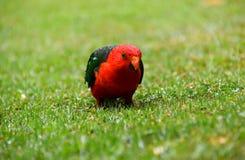 Manlig konung Parrot i regnet royaltyfria foton
