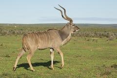 Manlig Kudu antilop med stora horn Arkivbilder