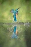 Manlig kungsfiskare arkivbilder
