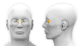 Manlig Lacrimal skalleanatomi - som isoleras på vit royaltyfri illustrationer