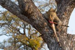 Manlig leopard med ett nytt impalabyte i träd arkivfoto