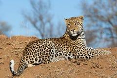 Manlig leopard på en kulle fotografering för bildbyråer