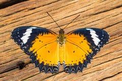 Manlig leopardlacewingfjäril Arkivfoto