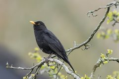 Manlig merula för Eurasiankoltrastturdus som sjunger i ett träd Fotografering för Bildbyråer