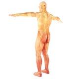 Manlig mänsklig nervsystem Royaltyfri Fotografi