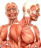 manlig muskulös anatomi 3d med sidosikt royaltyfri illustrationer
