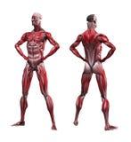 Manlig muskulatur royaltyfri illustrationer