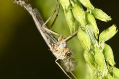 Manlig mygga på en grön växt Arkivfoton