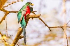 Manlig Narina Trogon - Apaloderma narina Royaltyfri Foto